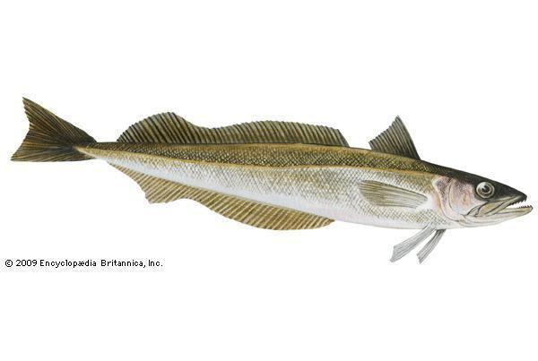 White hake Know your seafood White Hake Turner39s Seafood