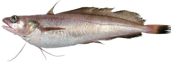 White hake White Hake Atlantic and Northern Gulf of St Lawrence population
