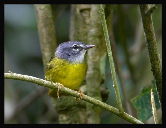 White-lored warbler wwwmangoverdecomwbgimages00000010324jpg