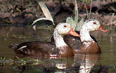 White-winged duck Oriental Bird Club Image Database Whitewinged Duck Asarcornis