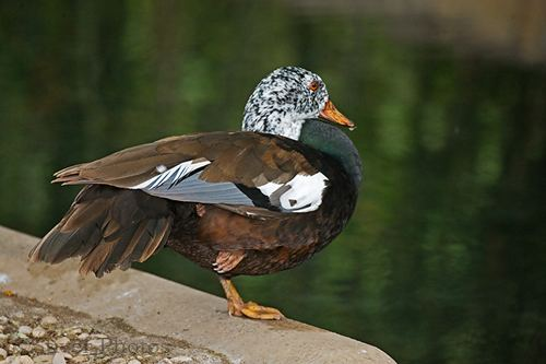 White-winged duck Whitewinged Duck Rare and Endangered Series Nature Notes