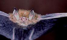 Whitehead's woolly bat httpsuploadwikimediaorgwikipediaththumb9