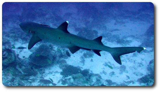 Whitetip reef shark Learn All About Sharks Like The Whitetip Reef Shark Shark Sider