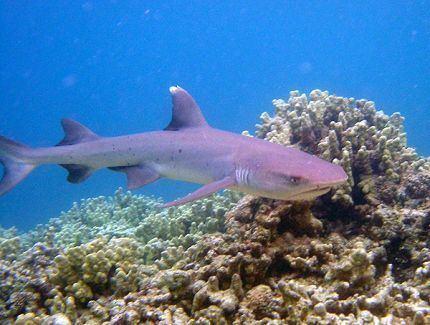 Whitetip reef shark Aquarium of the Pacific Online Learning Center Whitetip Reef Shark