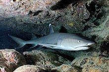 Whitetip reef shark httpsuploadwikimediaorgwikipediacommonsthu