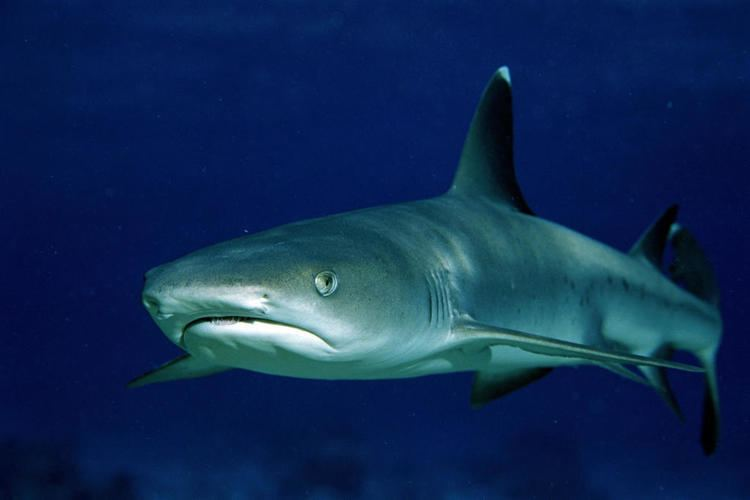 Whitetip reef shark Whitetip Reef Shark Shark Week Discovery