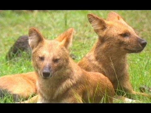 Wild Dog Diaries Pure Nature Specials Wild Dog Diaries Animal Documentaries