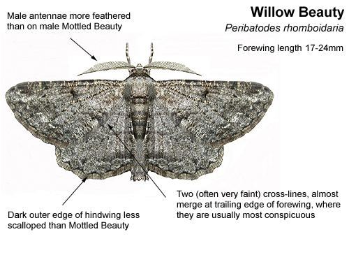 Willow beauty Identifying Mottled and Willow Beauty