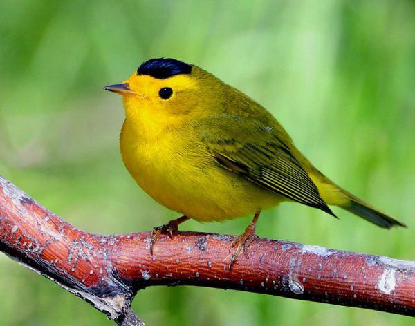 Wilson's warbler Birds Wilson39s Warbler Henry E Hooper