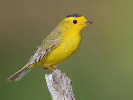 Wilson's warbler Wilson39s Warbler Identification All About Birds Cornell Lab of