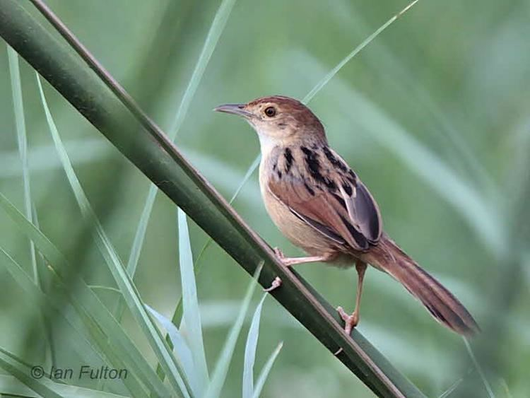 Winding cisticola Winding Cisticola Cisticola marginatus A bird perched up on