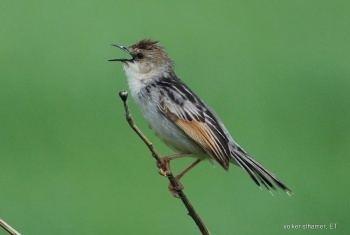 Winding cisticola Winding Cisticola BirdForum Opus