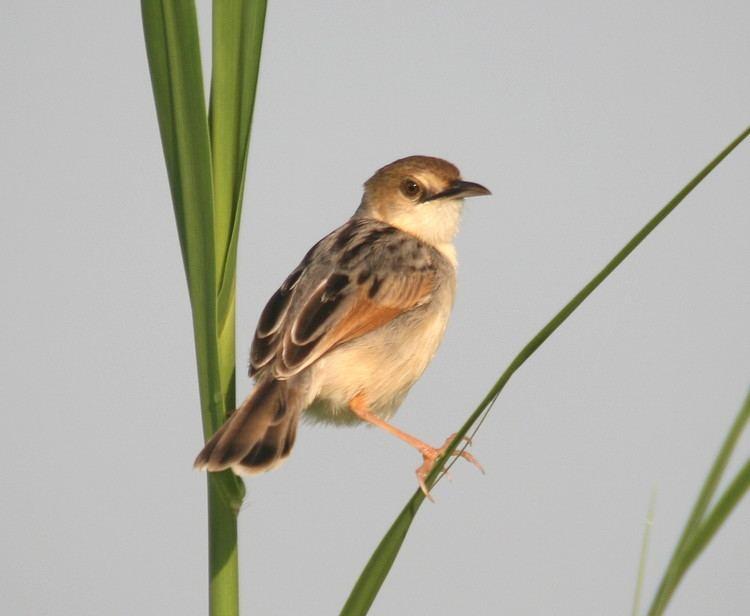 Winding cisticola Birding South Sudan New habitat new bird