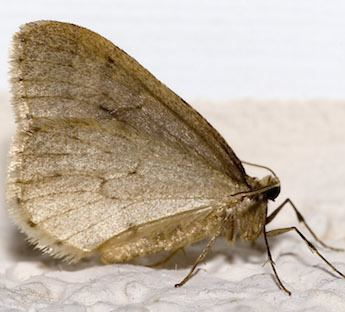 Winter moth Pest ControlStrategies for Identifying and Controlling Winter Moth