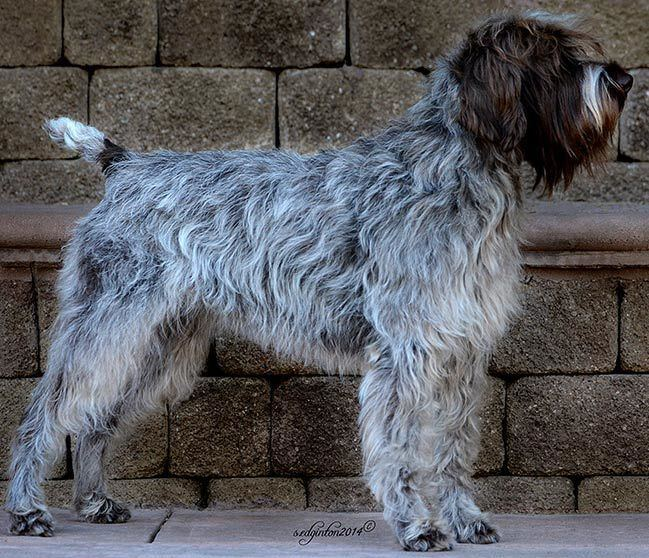Wirehaired Pointing Griffon - Alchetron, the free social ...