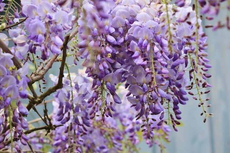 Wisteria Wisteria How to Plant Grow and Care for Wisteria The Old