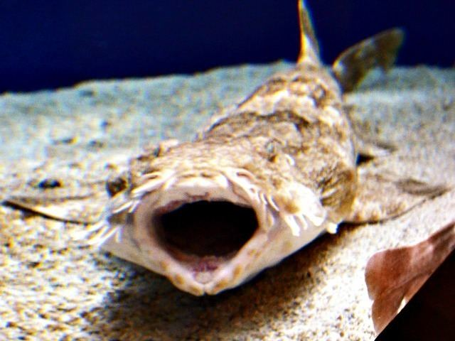 Wobbegong Top 10 Facts About Wobbegong Sharks Fun Facts You Need to Know