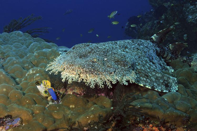 Wobbegong Wobbegong Shark Sharkopedia