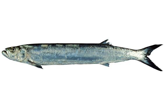Wolf herring fishesofaustralianetauImagesImageChirocentrus