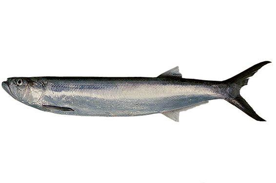 Wolf herring Chirocentrus nudus