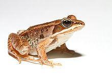 Wood frog Wood frog Wikipedia