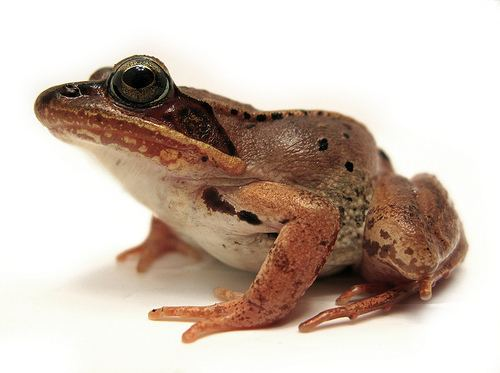 Wood frog Wintering Wood Frogs Freeze Solid The Infinite Spider