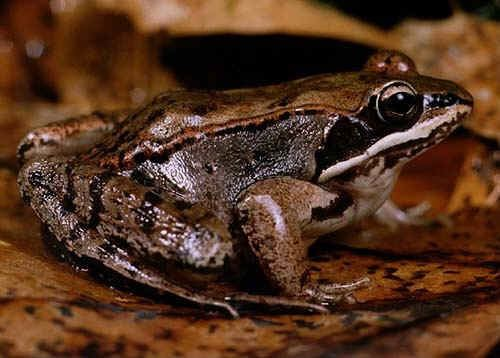Wood frog wwwkidzonewslwfrogsimageswoodfrogjpg
