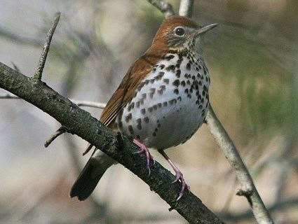 Wood thrush Wood Thrush Identification All About Birds Cornell Lab of