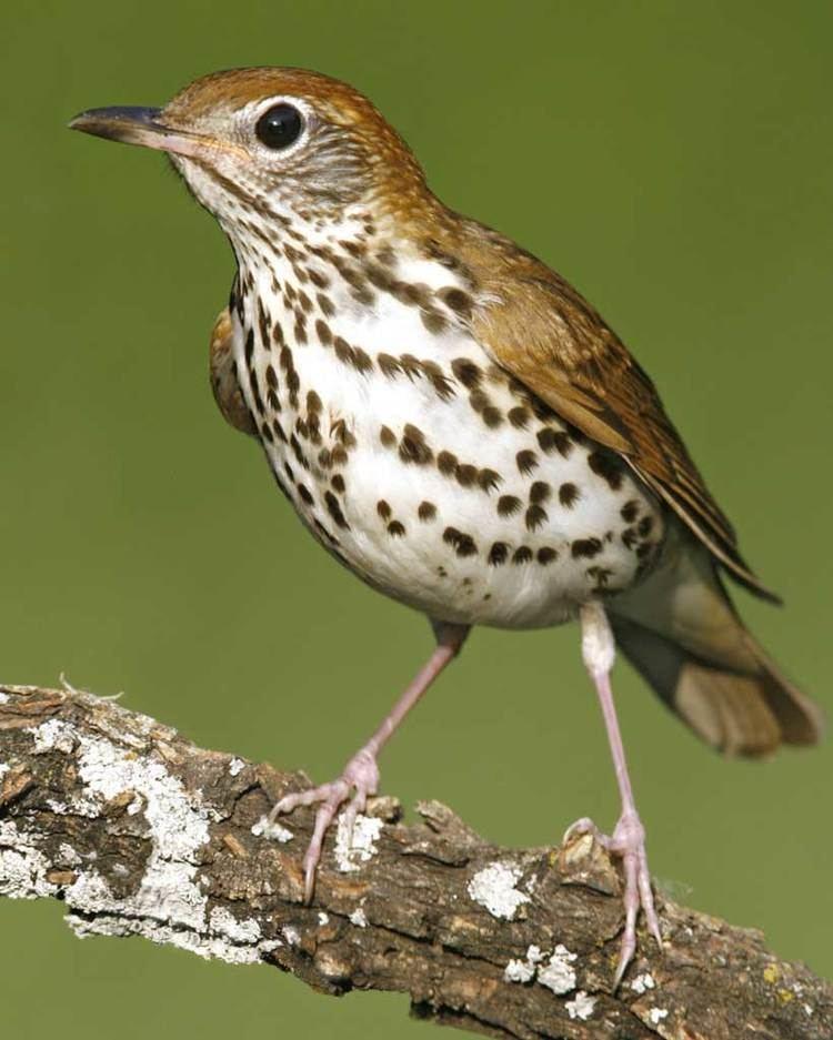 Wood thrush Wood Thrush Audubon Field Guide