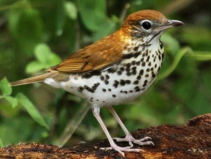 Wood thrush Hermit Thrush Identification All About Birds Cornell Lab of