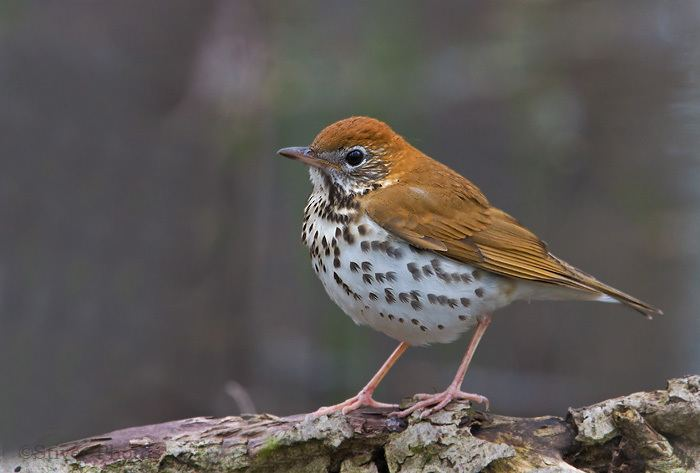 Wood thrush 17 images about Wood Thrush on Pinterest Birds Belize and Yellow