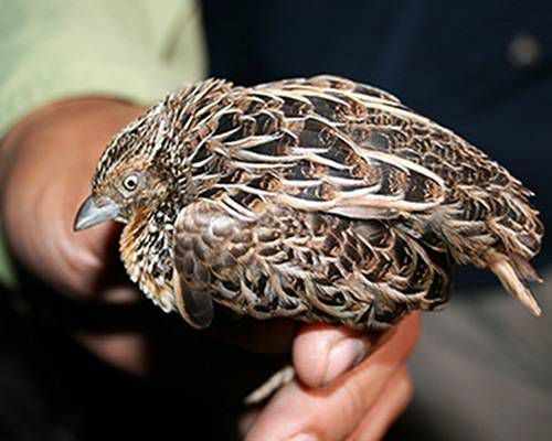 Worcester's buttonquail httpsmediamnncomassetsimages201007button