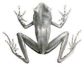 Xenophrys longipes httpsuploadwikimediaorgwikipediacommonsthu
