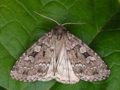Xestia Lepidopterano Xestia laetabilis