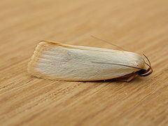 Xyloryctidae httpsuploadwikimediaorgwikipediacommonsthu