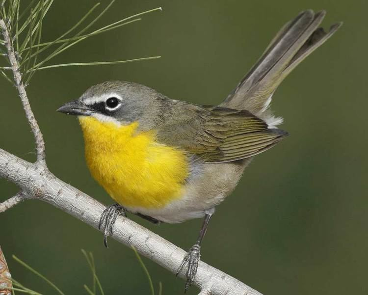 Yellow-breasted chat d2fbmjy3x0sduacloudfrontnetsitesdefaultfiles