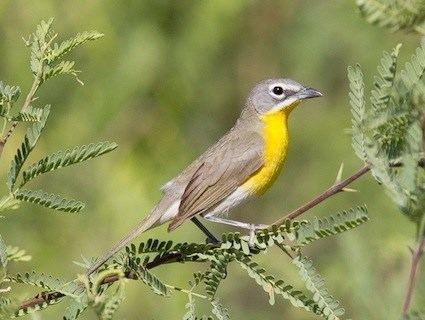 Yellow-breasted chat JungleWalk Links to thousands of animal multimedia sites