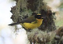 Yellow-crowned whitestart httpsuploadwikimediaorgwikipediacommonsthu