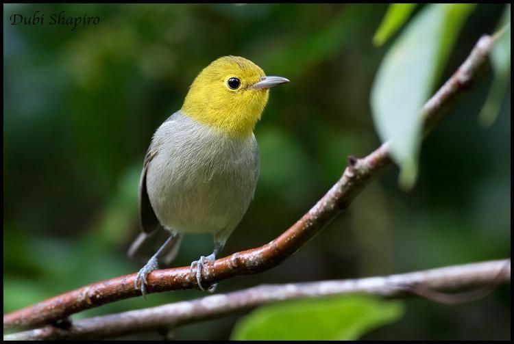Yellow-headed warbler Yellowheaded Warbler Teretistris fernandinae videos photos and