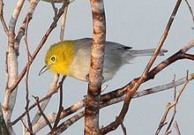 Yellow-headed warbler Yellowheaded warbler Wikipedia