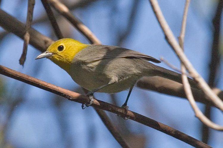Yellow-headed warbler Yellowheaded Warbler Teretistris fernandinae