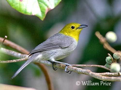 Yellow-headed warbler wwwoiseauxbirdscompasseriformesparulidesparu