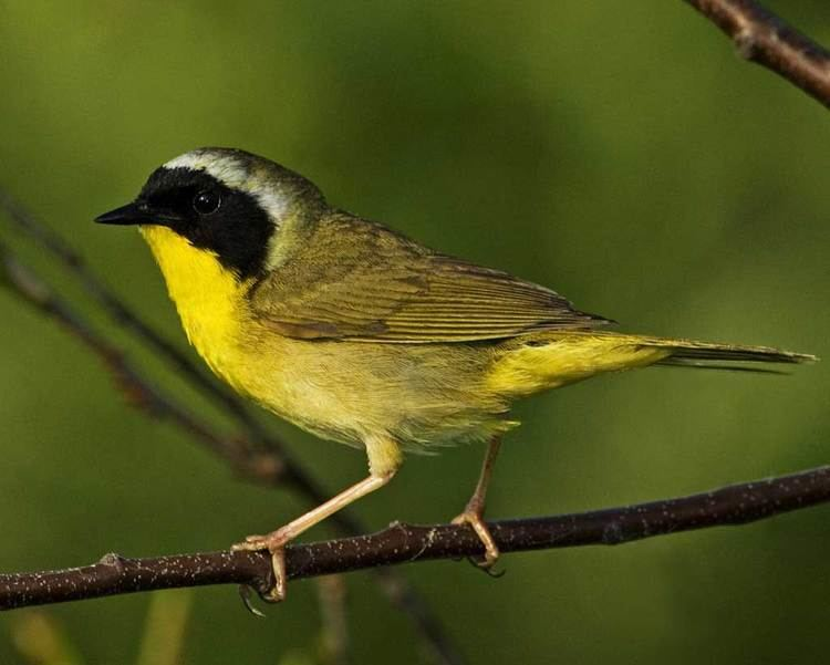 Yellowthroat Common Yellowthroat Audubon Field Guide