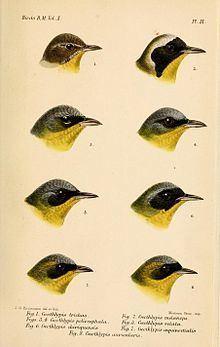 Yellowthroat httpsuploadwikimediaorgwikipediacommonsthu