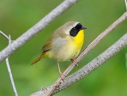 Yellowthroat Common Yellowthroat Identification All About Birds Cornell Lab