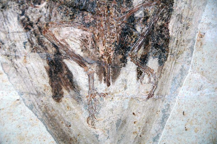 Yixian Formation FileConfuciusornis sanctus fossil bird Yixian Formation Lower