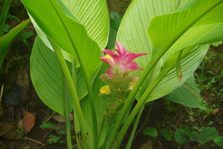 Zingiberaceae - Alchetron, la enciclopedia social libre