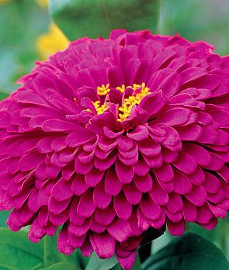 Zinnia Zinnia Seeds and Plants Bedding and Cut Flowers at Burpee Seeds
