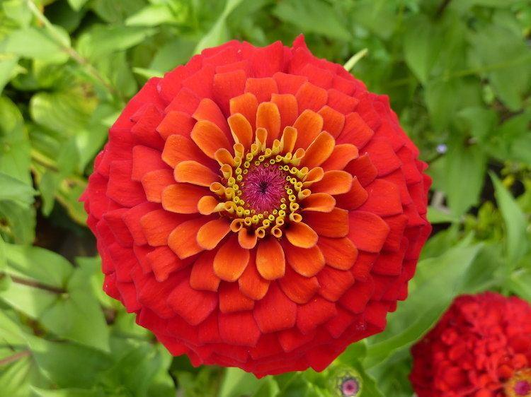 Zinnia 17 Best images about Zinnia Love on Pinterest Gardens Sun and