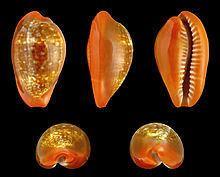 Zonaria pyrum httpsuploadwikimediaorgwikipediacommonsthu